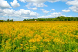 Fields of Gold!