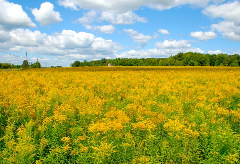 Goldenrod herbs